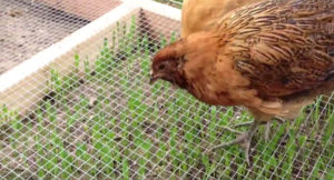 chicken grazing frame 4