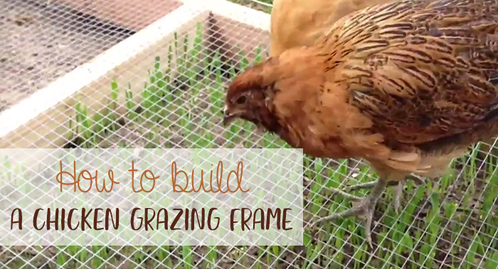 chicken grazing frame feat
