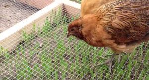 chicken grazing frame 4